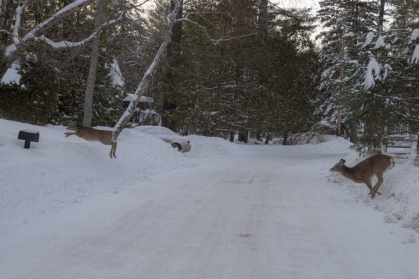 Deer cross a snowy road near Moody Pond in Saranac Lake on Monday. Photo by Mike Lynch