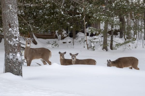 Deer near Moody Pond in Saranac Lake Monday afternoon.