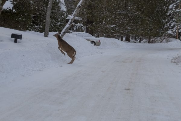 A deer crosses the road Monday near Moody Pond in Saranac Lake. Photo by Mike Lynch