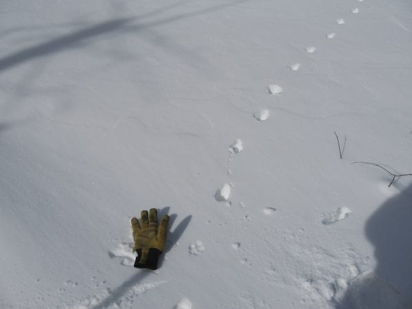 Coyote tracks. Photo by Mike Lynch