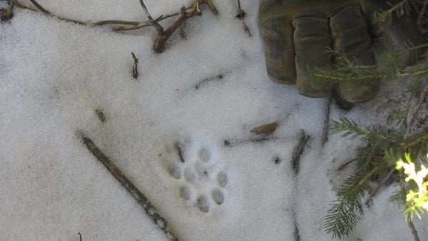 Bobcat print. Photo by Bill Ulinski