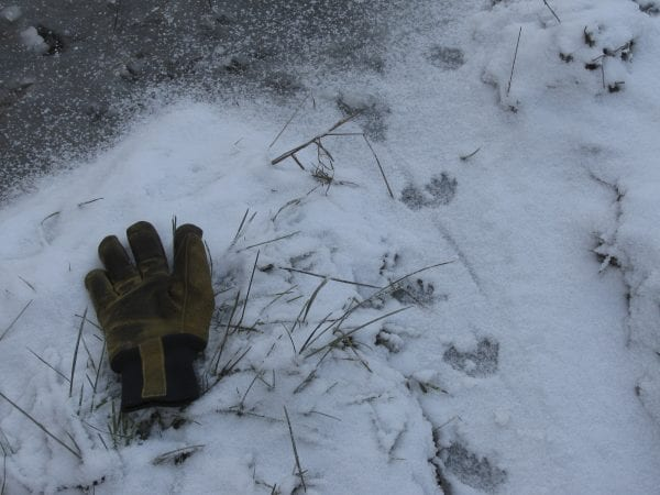 Muskrat tracks. Photo by Bill Ulinski