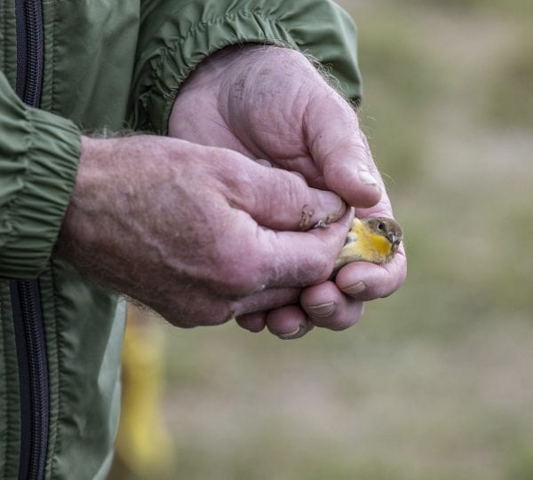 Scenes from the Crown Point Bird Banding Station in May, 2019. Photos by Mike Lynch
