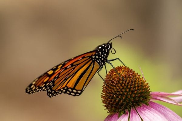 A monarch butterfly stands on a coneflower at the Paul Smith's Butterfly House. Photo by Mike Lynch