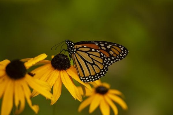 A monarch buttery on a black-eyed Susan. Photo by Mike Lynch