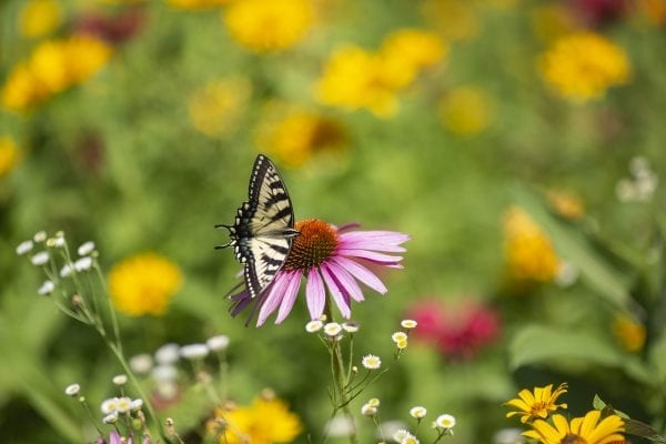 A swallowtail butterfly on a coneflower. Photo by Mike Lynch