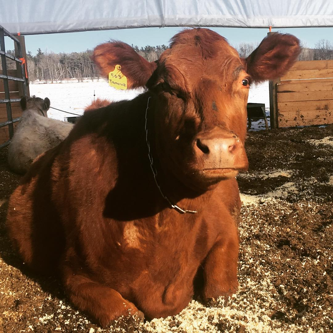 North Country cow