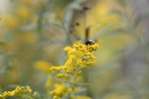 A bee on golden rod on property owned by Bruce Cushing, who is managing his woodlot for commercial timber but is keeping wildlife in mind as he does it. Photo by Mike Lynch