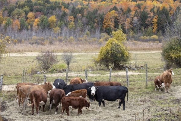 Cows congregate at a farm in Washington County on the eastern side of Lake George. Photo by Mike Lynch