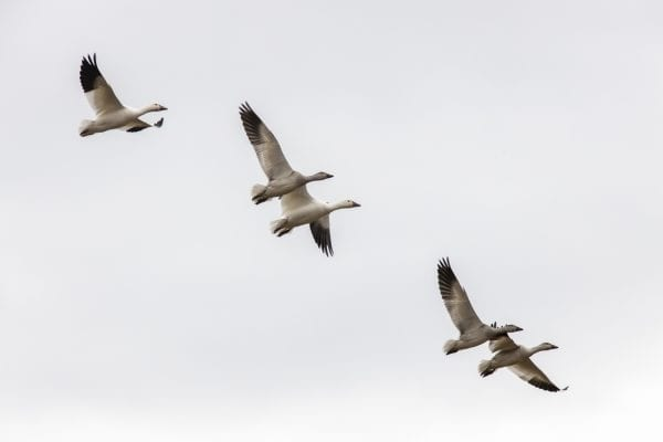Snow geese fly above a corn field near Lake Champlain north of Plattsburgh. Photo by Mike Lynch