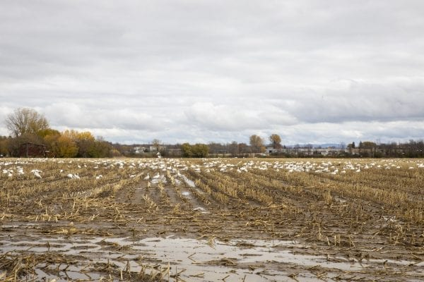 Snow geese gather in a corn field near Lake Champlain north of Plattsburgh. Photo by Mike Lynch