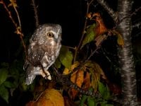 Northern Saw-whet owl from banding session Oct. 8.