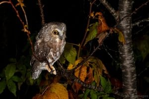 Northern Saw-whet owl from banding session Oct. 8. Photo by Larry Master