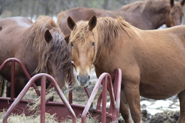 Horses get a morning meal at Reber Rock Farm. Photo by Mike Lynch