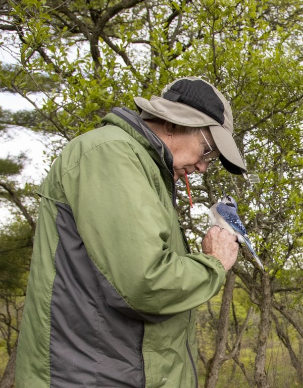 Master bander Gordon Howard holds a blue jay at the Crown Point Birding Station in May. Photo by Mike Lynch
