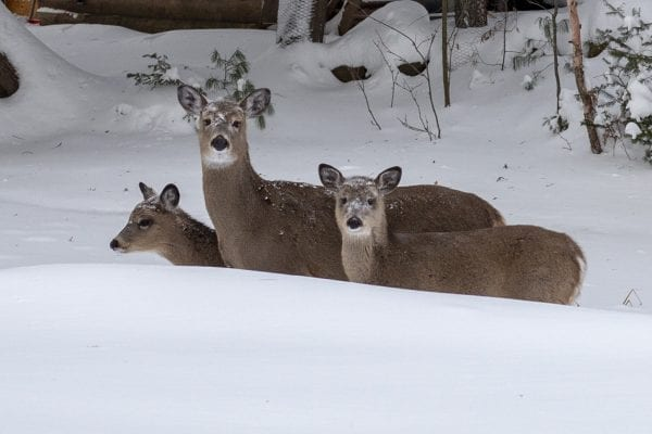 Deer peer over the snow near Moody Pond in Saranac Lake during a cold spell in January 2020.  Photo by Mike Lynch