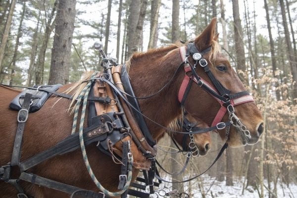 Chad Vogel of Reber Rock Farm uses draft horses to log in Willsboro. Photo by Mike Lynch