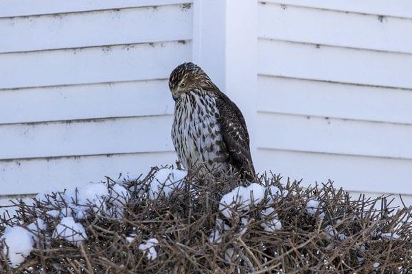 A hawk hunts for prey in Ticonderoga. Photo by Mike Lynch