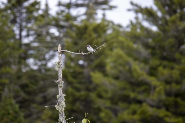 A tree swallow sits on a snag along Fishing Brook. Photo by Mike Lynch