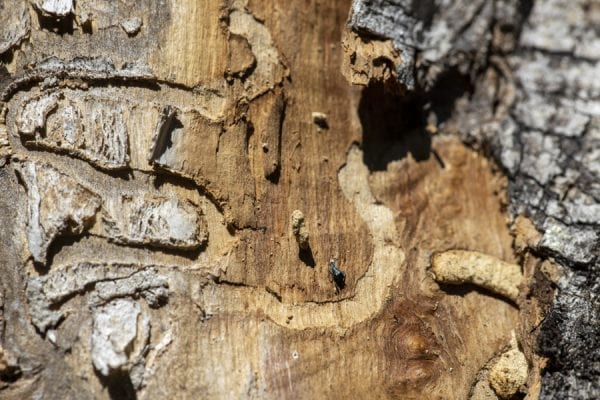 Emerald ash borers, an invasive species that kills ash trees, have been found at a boat launch on the Scroon River in Warren County. These photos taken in September by multimedia reporter Mike Lynch show the galleries that the insects make as they travel through the trees.