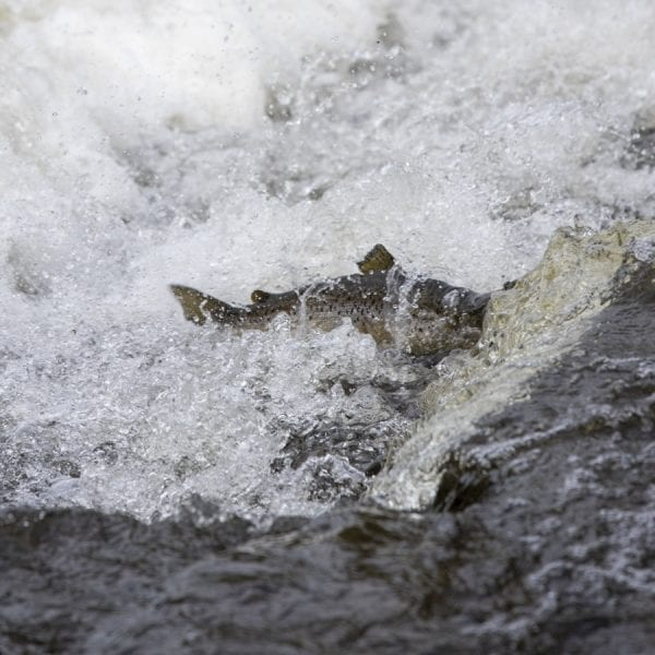 A salmon successfully navigates a small cascade on the Boquet River. Photo by Mike Lynch