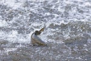 Salmon scene on the Boquet