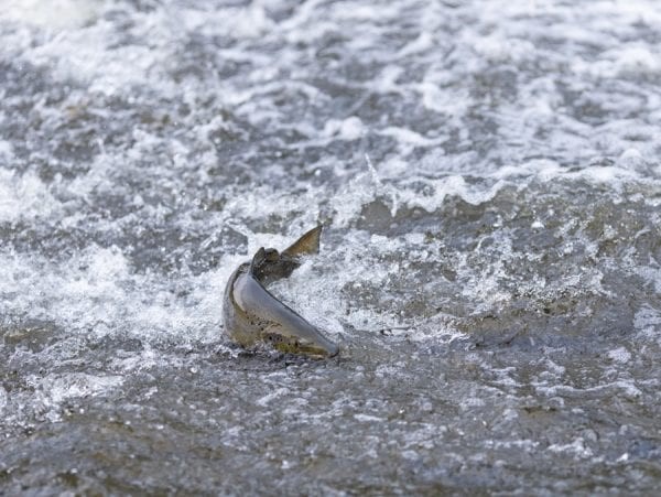 A salmon struggles through a shallow section of water on the way upriver on the Boquet. This fall run fish was the subject of articles in the November issue. Photo by Mike Lynch