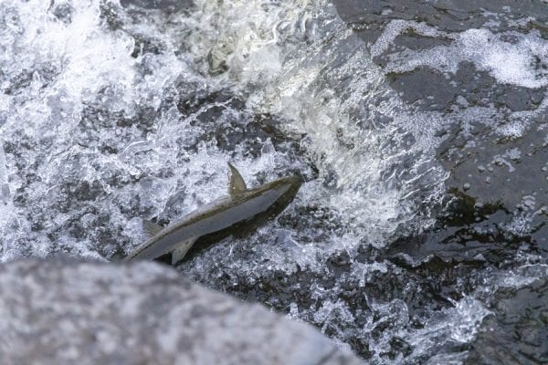A salmon leaps out of the water. Photo by Mike Lynch