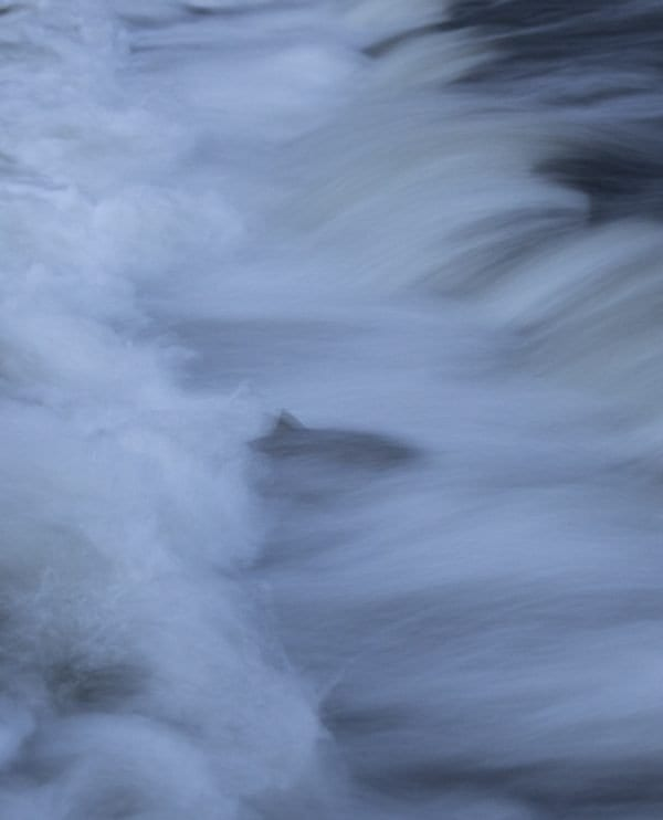 A salmon swims upriver in this photograph, which was taken with a slow shutter speed. Photo by Mike Lynch