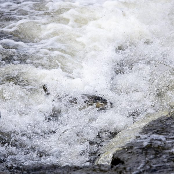 A salmon swims upriver on the Boquet. Photo by Mike Lynch