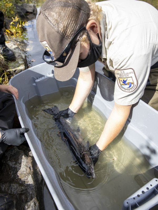 U.S. Fish and Wildlife Service technician Bryan Ross prepares a salmon to be released to the Boquet River. Photo by Mike Lynch