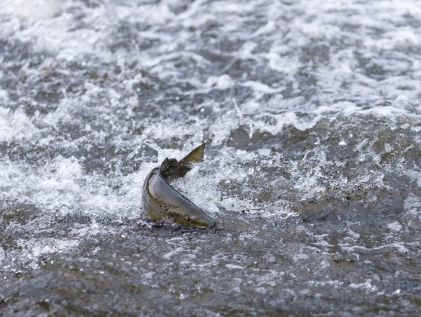 A salmon makes its way up the Boquet River in October. Photo by Mike Lynch