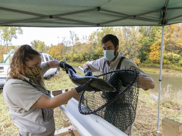 Biological science technician Shelby Scarfo, left, and fish biologist Jonah L. Withers, both of the U.S. Fish and Wildlife Service, prepare to tag a salmon on the Boquet River. Photo by Mike Lynch