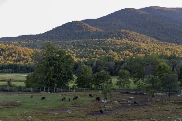 Buffalo graze in the central Adirondacks. Photo by Mike Lynch