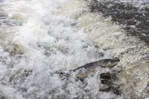 Behind the Lens: Seeking salmon