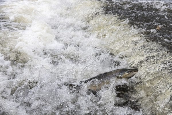 A salmon makes its way upriver on the Boquet. Photo by Mike Lynch