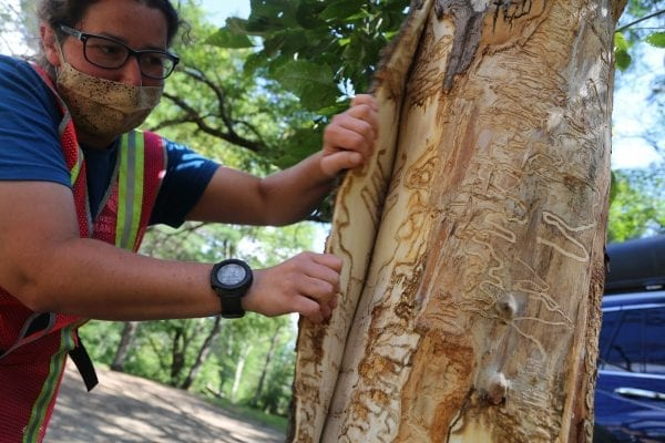 Rebecca Bernacki, with the Adirondack Park Invasvie Plant Program, shows the damage of the invasive emerald ash borer on Aug. 19 at the Warren County boat launch in Chester. Photo by Gwendolyn Craig