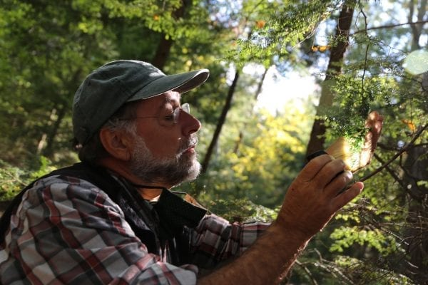 Mark Whitmore, of the New York State Hemlock Initiative, looks at the invasive hemlock woolly adelgid on an infected tree on Oct. 6 in Washingotn County on Lake George. Photo by Gwendolyn Craig