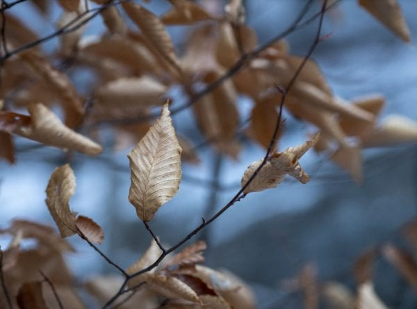 Beech trees leaves in the morning light on Baker Mountain. Photo by Mike Lynch