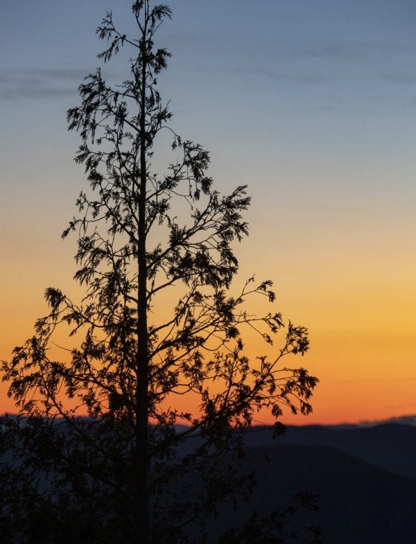A cedar tree against the pre-sunrise glow on the horizon at Cobble Lookout in Wilmington. Photo by Mike Lynch