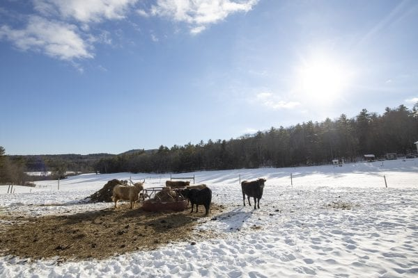 Livestock enjoy the late sun on a winter day at Dacy Meadow Farm. Photo by Mike Lynch