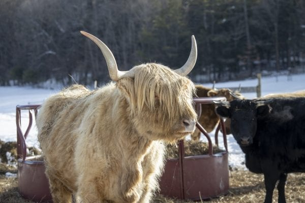 Not your average Adirondack wildlife. A Scotch Highland cow at Dacy Meadow Farm. Photo by Mike Lynch