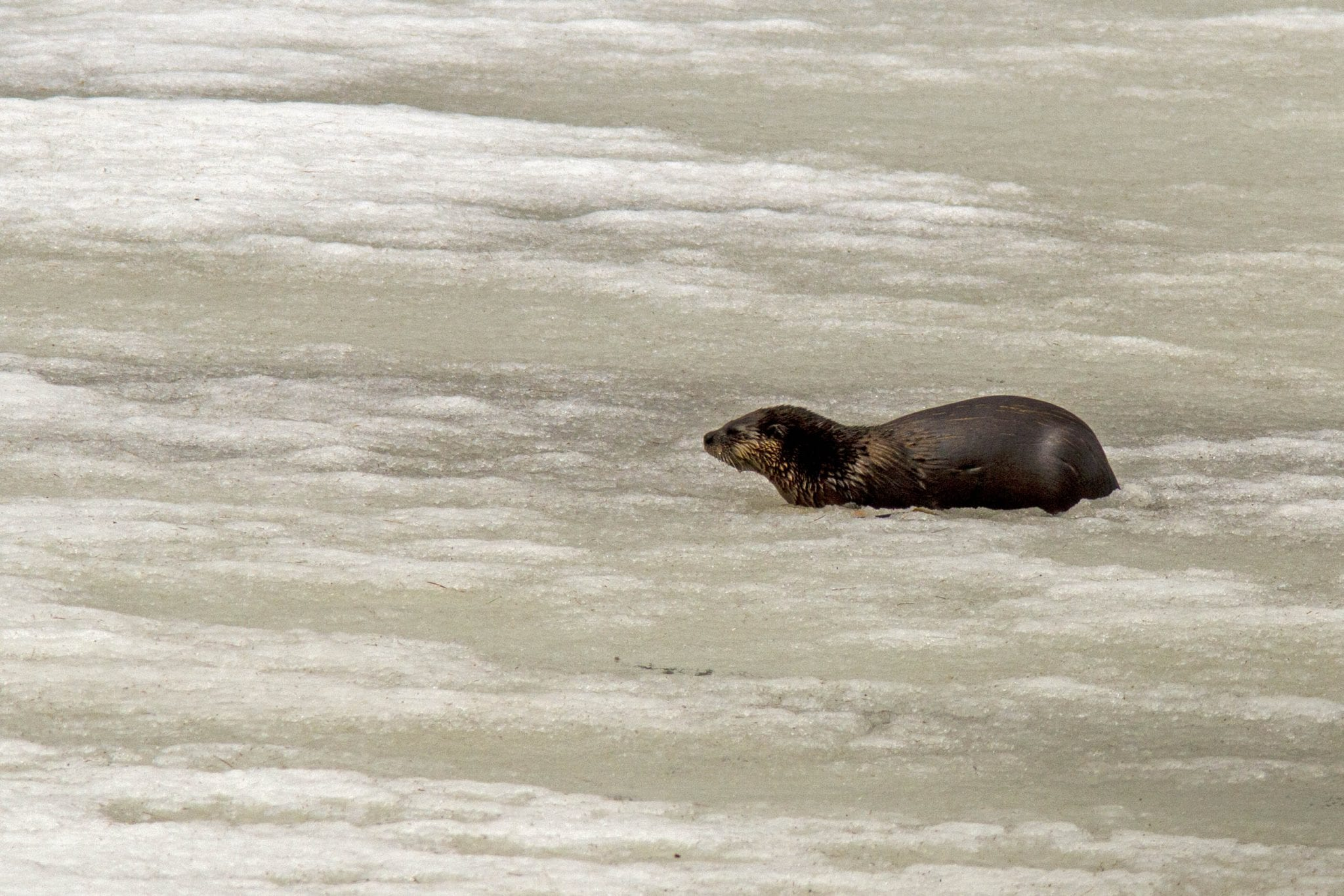 otter in ice