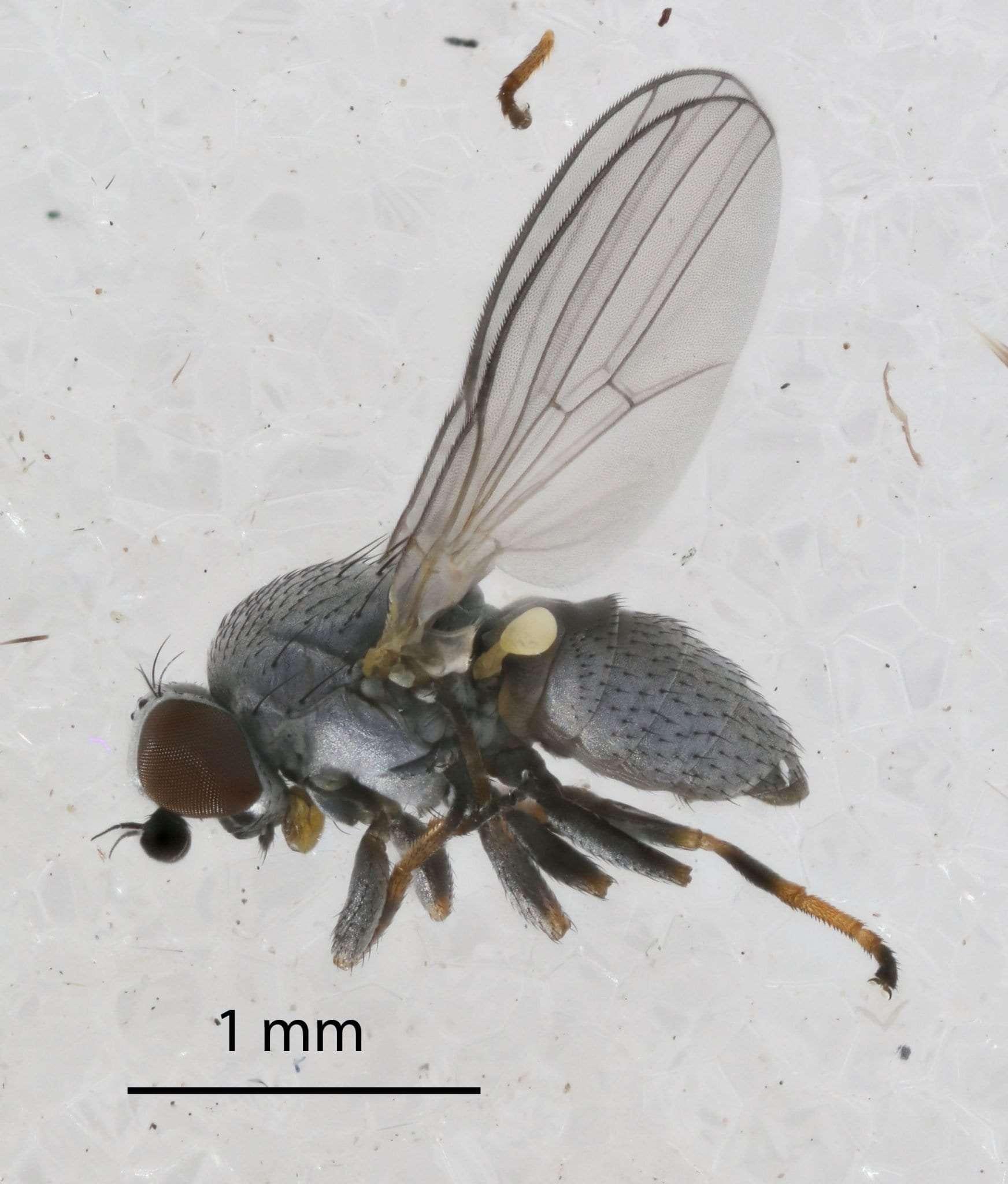 hemlock woolly adelgid eating insect