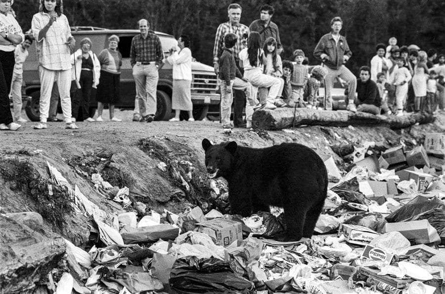 bear at dump going through trash