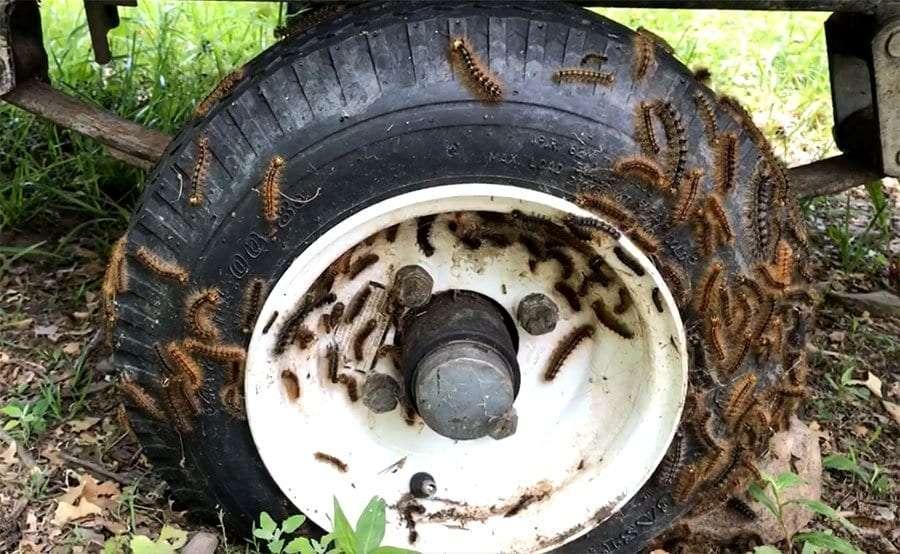 gypsy moth caterpillars on a tire