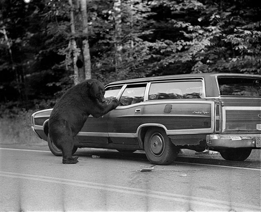 bear at the dump