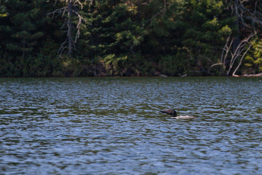 A loon on Little Clear Pond