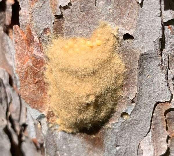 gypsy moth egg mass close up