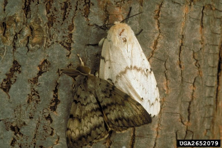 As caterpillars turn into gypsy moths, a respite for trees